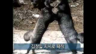 getlinkyoutube.com-[신긔방긔~] 백두산 호랑이 VS 사자 대결, 동물들 싸움