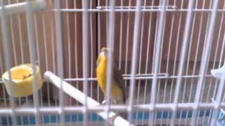 getlinkyoutube.com-mulet Mozambique x femelle canaris