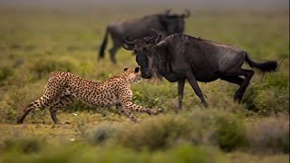 Survival of the Cheetah : Documentary on How Cheetahs Hunt and Survive in Africa (Full Documentary)