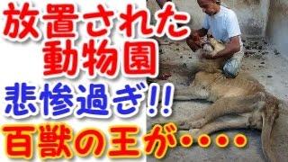 getlinkyoutube.com-【悲惨】放置された動物園のライオンが可哀想過ぎる・・・【人間の都合に巻き込まれてしまった動物・・】