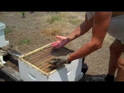 Tips for finding the Queen, Honey Bee Queen