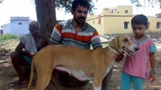getlinkyoutube.com-rajapalayam co-operative kennel