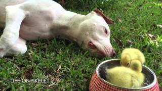 Rescue Dog Plays with Ducklings