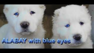 getlinkyoutube.com-АЛАБАИ с ГОЛУБЫМИ ГЛАЗАМИ.Blue eyes.Alabaiनीली आंखों के साथ AlabaiOdessa.