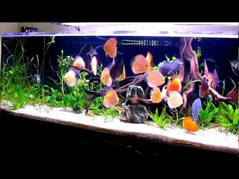 Tuan's 240 Gallons Planted Discus Tank