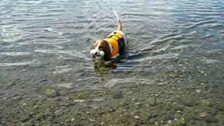 getlinkyoutube.com-Basset Hounds Swimming
