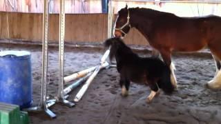 getlinkyoutube.com-Shire Horse vs. Mini Shetty