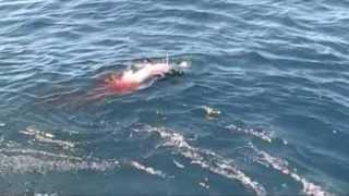 getlinkyoutube.com-Giant Mako Shark attacks swordfish boobytrapfishingteam.com