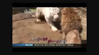 getlinkyoutube.com-Male Siberian Tiger Attacks Lioness Until Lion Saves Her