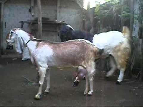 Etawa Goat mating 2