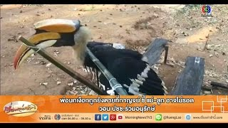 getlinkyoutube.com-เรื่องเล่าเช้านี้ พ่อนกเงือกถูกยิงตายที่กาญจน์ ชี้ แม่-ลูก อาจไม่รอด (13 ก.พ.58)