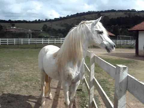 Alvinho, cavalo arabe do hotel fazenda Atibainha/SP