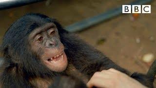 getlinkyoutube.com-Making a Bonobo laugh - Animals in Love: Episode 1 - BBC One