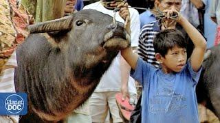 getlinkyoutube.com-Indonesia. Toraja Funeral (Buffalo Fight)   Tribes & Ethnic Groups
