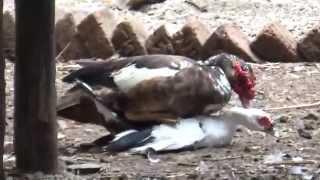 getlinkyoutube.com-Mating of Ugly Duck