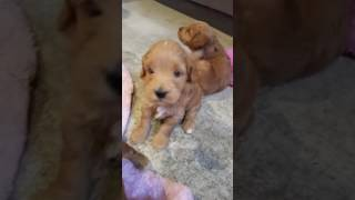 flushyoutube.com-Bella and chewys 2016 litter