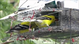 getlinkyoutube.com-A Singer of Spring: The American Goldfinch
