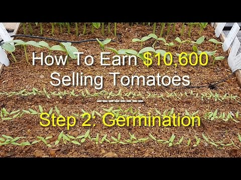 EARN $10,600 BY SELLING TOMATOES - Step 2: Germination