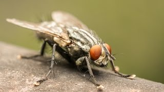 getlinkyoutube.com-How To Get Rid of a Fly