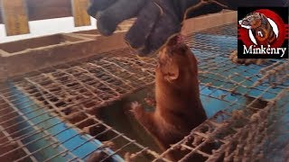 The CRAZIEST mink I have EVER seen!!! width=