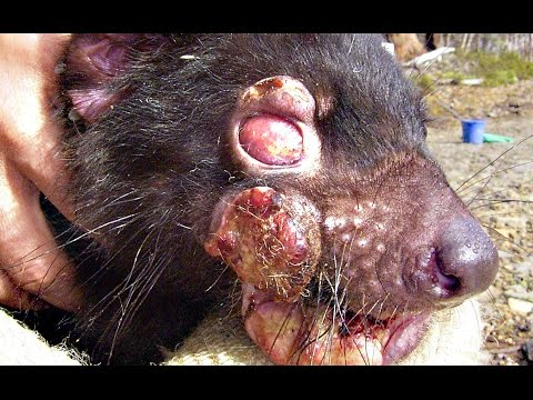 DEVIL FACIAL TUMOR DISEASE - Smarter Every Day 140