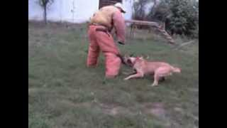 getlinkyoutube.com-Protection dogs training and sale malinois male during protection work training