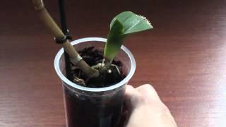 getlinkyoutube.com-Как поливать орхидею без корней