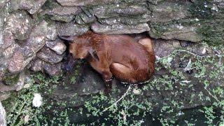 getlinkyoutube.com-Heartwarming rescue of dog fallen in well - watch when she sees her rescuer