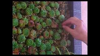 getlinkyoutube.com-Crear y decorar  un cuadro y jardín vertical con plantas crasas y suculentas