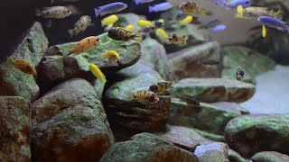 getlinkyoutube.com-600L Malawi Cichlids Sump Filtration Overview