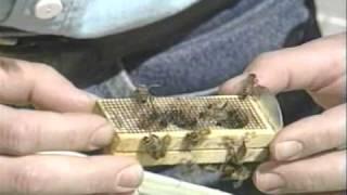getlinkyoutube.com-Honey Bees and Beekeeping 2.3: Releasing Queens
