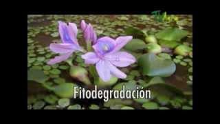 getlinkyoutube.com-El Jacinto Acuatico por Juan Gonzalo Angel -TVAgro