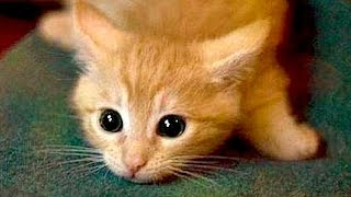 Are ORANGE CATS the FUNNIEST CATS? - Super FUNNY COMPILATION that will make you DIE LAUGHING
