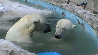 getlinkyoutube.com-氷浮かぶプール ホッキョクグマ デナリとララ~Polar Bears are playing in the pool