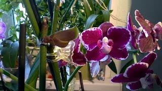 getlinkyoutube.com-Как получить детку на орхидее Фаленопсис  без гормонов  🌌