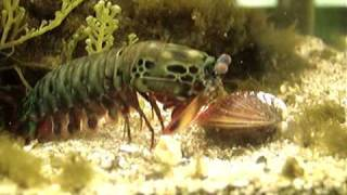 getlinkyoutube.com-Mantis Shrimp Destroys Clam