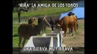 """getlinkyoutube.com-UNA CIERVA CON BRAVURA.  - (Programa """"Toros para todos"""")"""