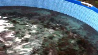 getlinkyoutube.com-Aquaponics Blue Crab feeding in backyard above ground pools