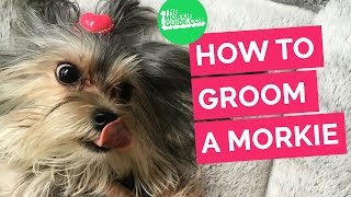 getlinkyoutube.com-How To Groom A MORKIE  Dog