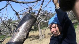 getlinkyoutube.com-Innesto a corona ciliegio - Bucchianico