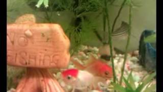getlinkyoutube.com-Goldfish fighting