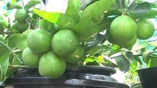 getlinkyoutube.com-เทคนิคการปลูกมะนาวในน้ำ เวอร์ชั่น 2