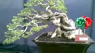 getlinkyoutube.com-Kontes Bonsai.mp4