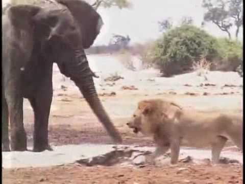3 lion killed elephant.avi