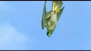 getlinkyoutube.com-Pigeon vs Peregrine Falcon - Animals: The Inside Story - BBC
