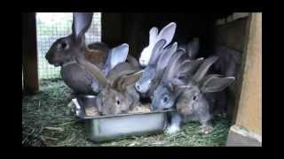 getlinkyoutube.com-кролики без прививок