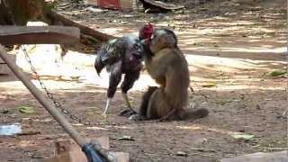getlinkyoutube.com-Mono y Gallo