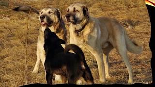 getlinkyoutube.com-Pelea de perros Kangal Mascota o asesino