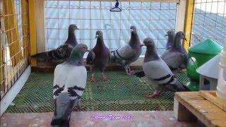 getlinkyoutube.com-Fcarlos Loft Racing Pigeon 1