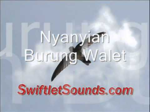 Swiftlet Sound Nyanyian Burung Walet External Sound
